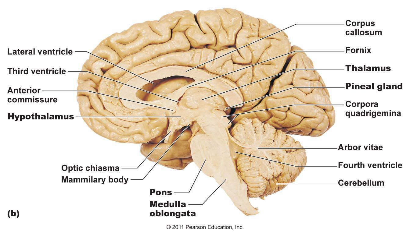 brain thalamus function - photo #41
